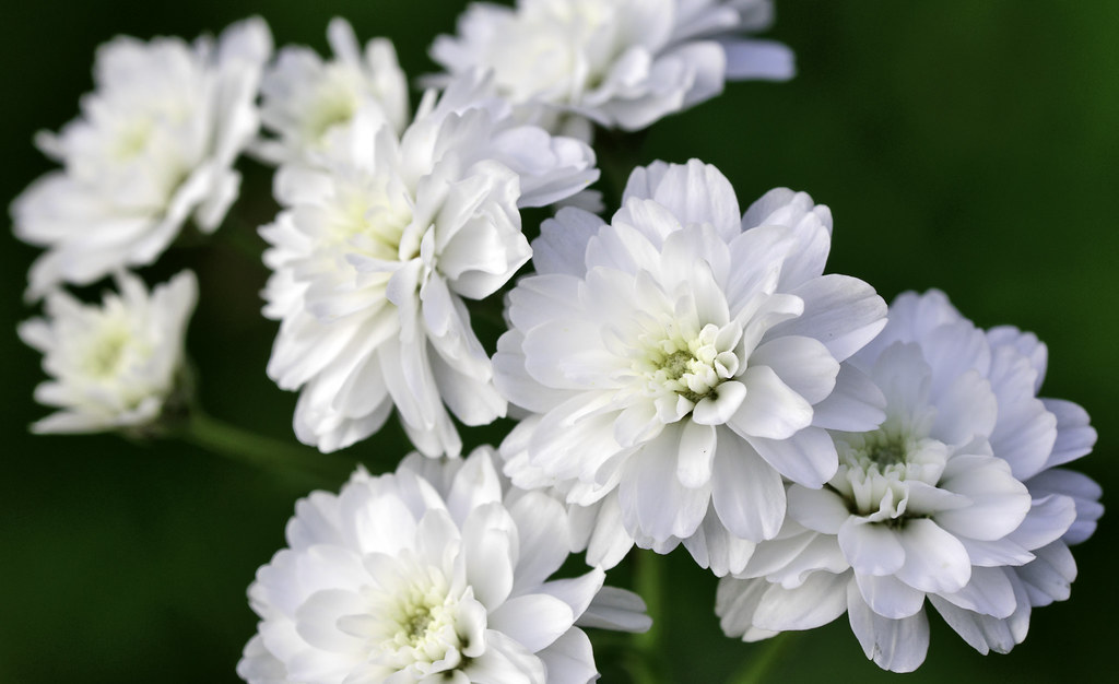 Photo of white flowers.